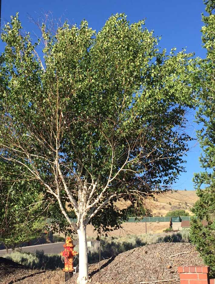 Serious Pest Targets Popular White Bark Birch Trees Oregon State