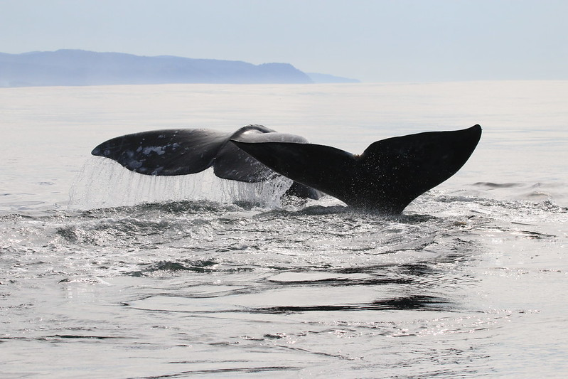 Using drones, GoPros to track gray whale behavior, and spot their