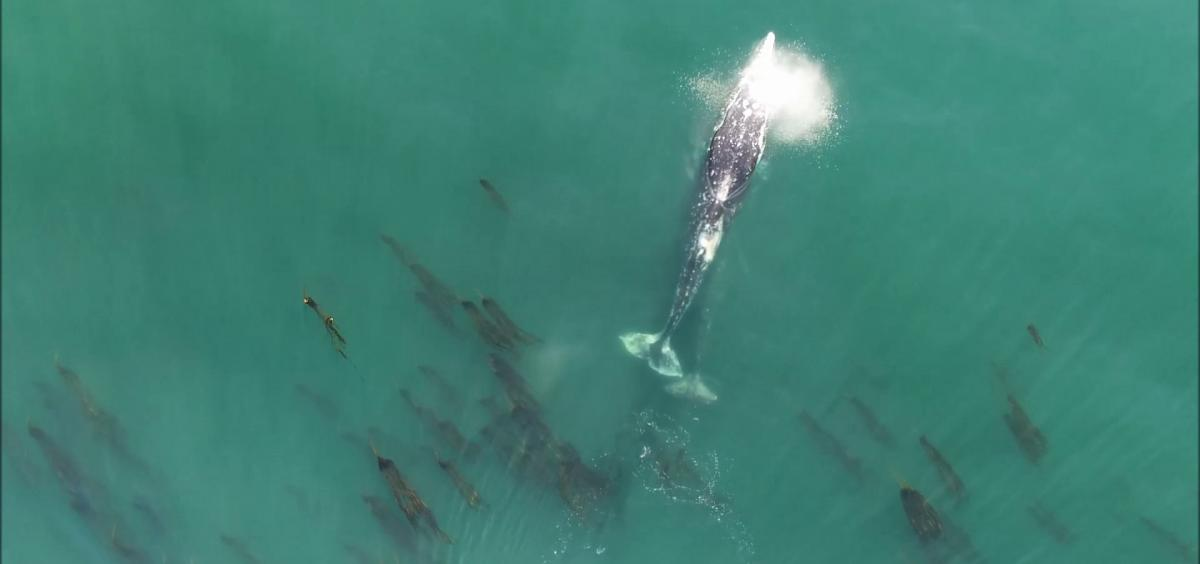Gray whales. Images and data collected under NOAA/NMFS permit #21678.