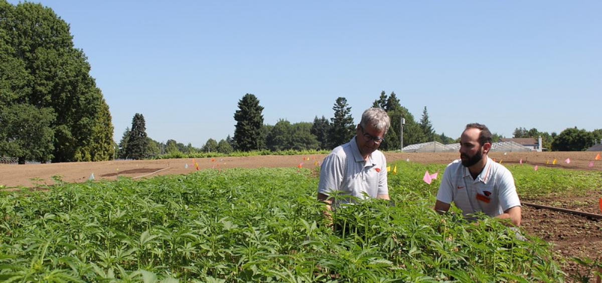 Jay Noller, director and lead researcher of the Oregon State University Global Hemp Innovation Center, and Lloyd Nackley, a hemp researcher stand in a field of hemp;