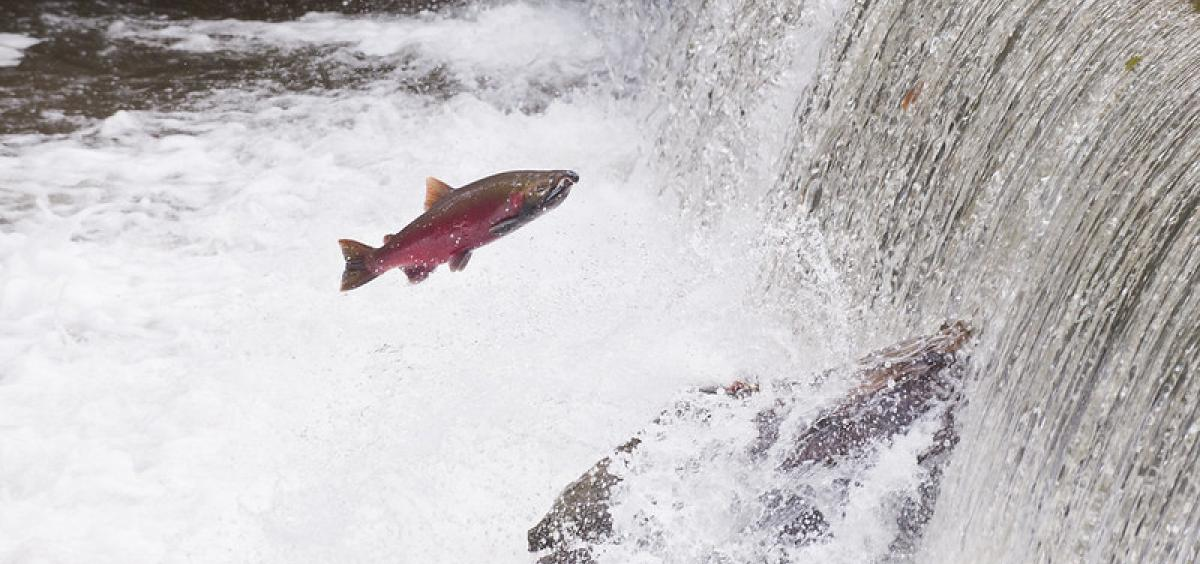 Image of coho salmon attempting to jump over a small waterfall as they swim upstream to spawn.