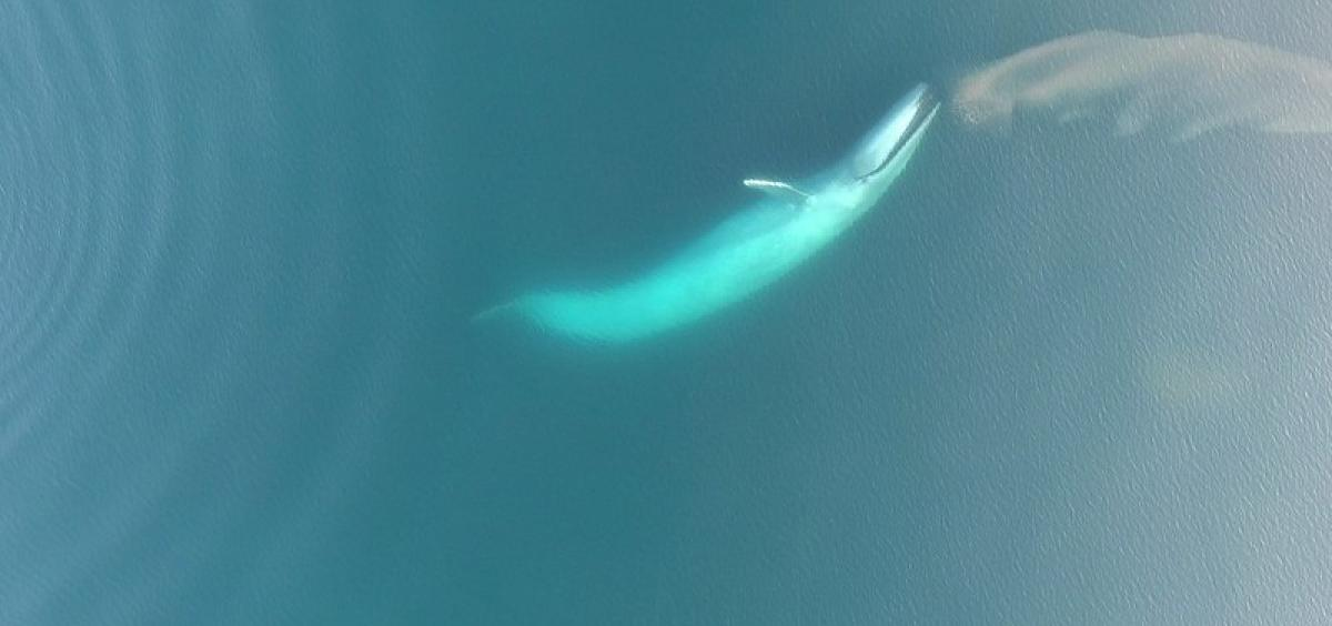 blue whale eating krill