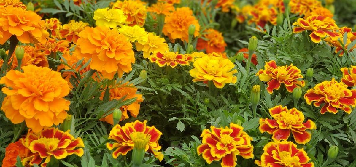 Annuals like marigold will die in winter and should be pulled out to keep diseases at bay. Photo by Mary Stewart.