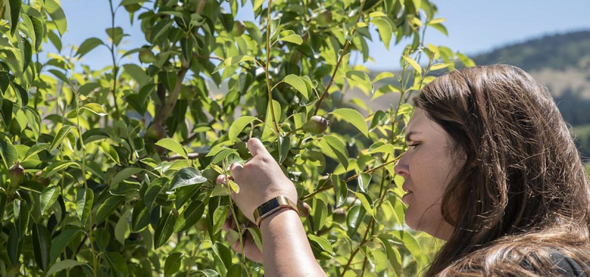 Ashley Thompson inspecting pear tree.