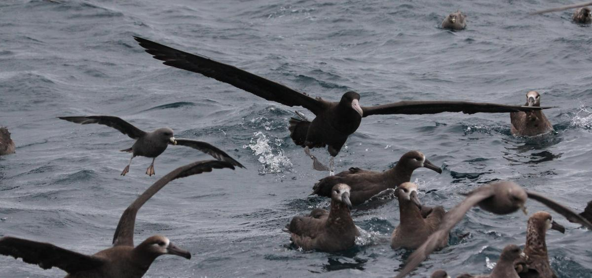 Image of multiple albatross in the water