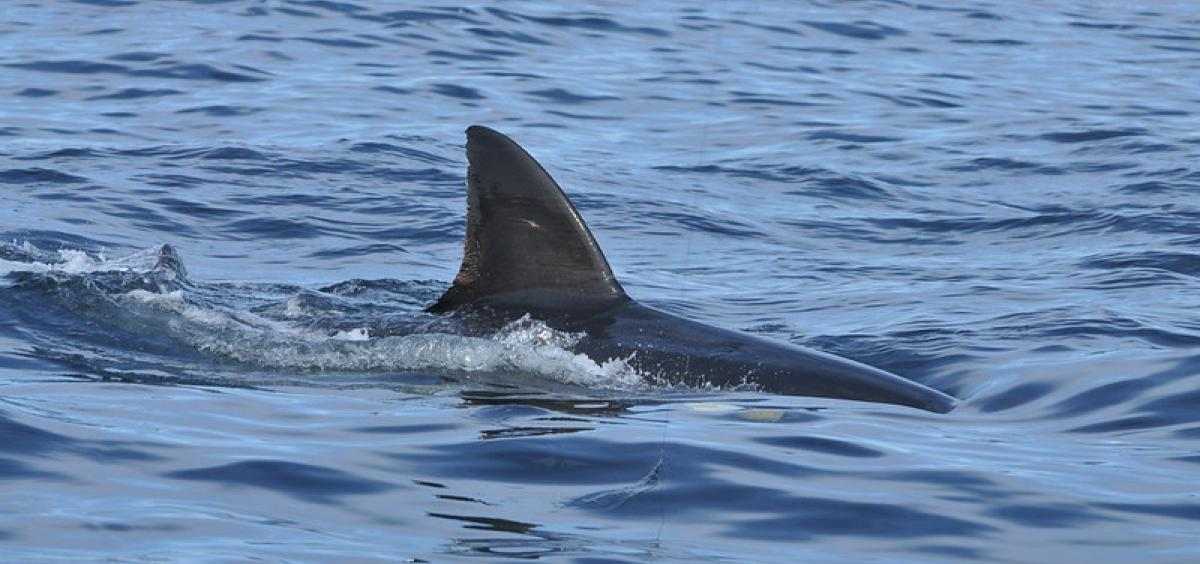 image of the back and dorsal fin of a white shark in blue gray ocean water