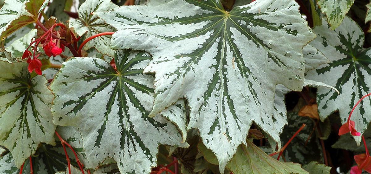 Begonia 'Spectre Silver'. Photo courtesy of Terra Nova Nurseries.