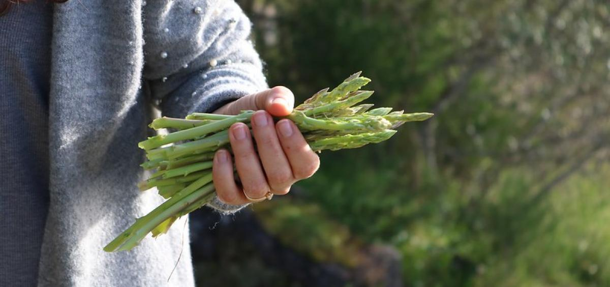 Asparagus will produce for decades if treated right,