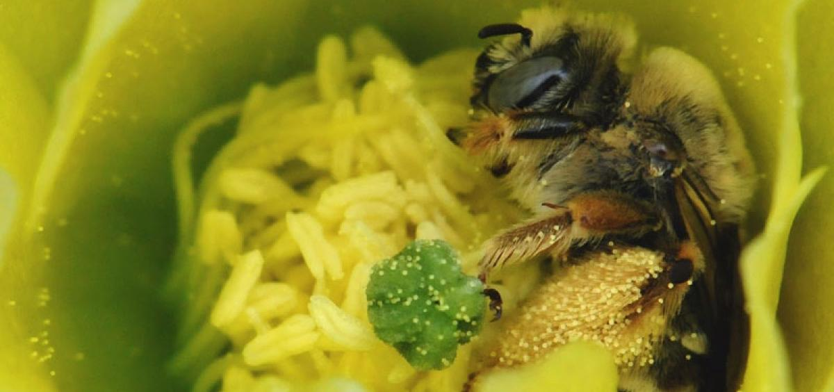 Volunteers scour the state for native bees like this cactus bee. Photo by Lincoln Best.