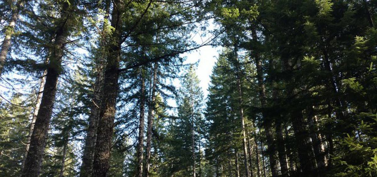 Stand of Douglas-fir in Clatsop County, Oregon