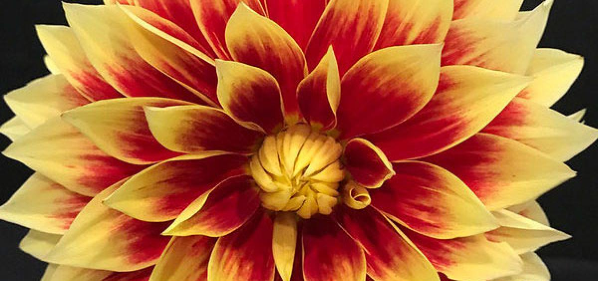Colorful, diverse dahlias can be addictive. Photo by Julie Moore