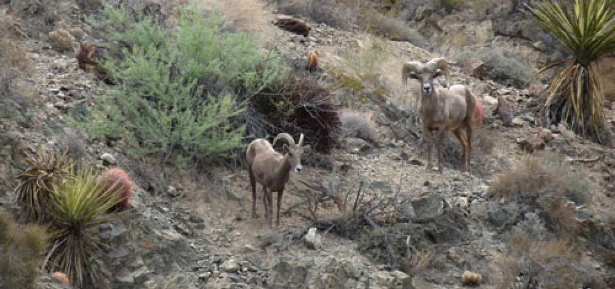 A desert bighorn sheep ewe (left) and ram in the Mojave Desert in California