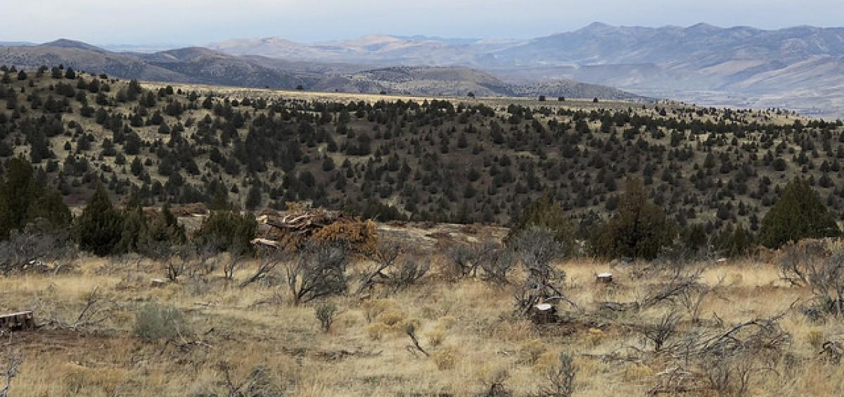 Juniper was cut down in 2013 at Flat Creek in eastern Oregon