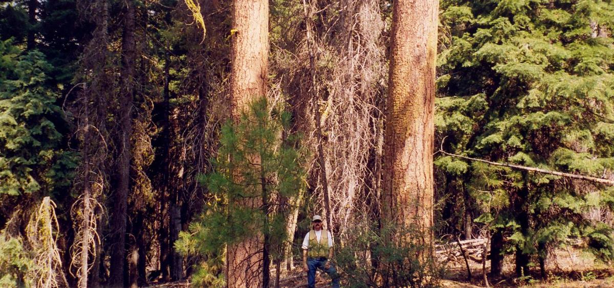 Dense ponderosa pine forest in southern Oregon