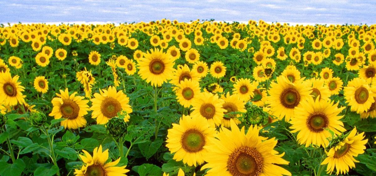 sunflowers are rich in vitamin E