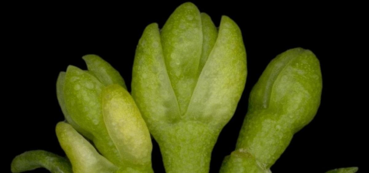 Eucalypt buds