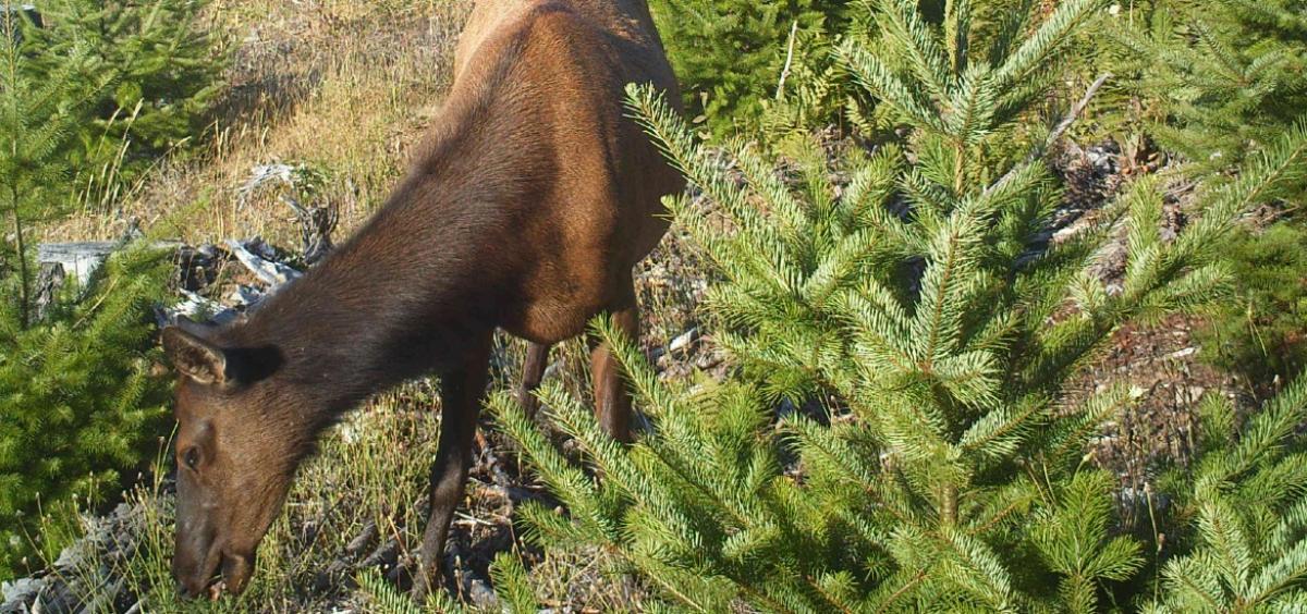 Browsing elk