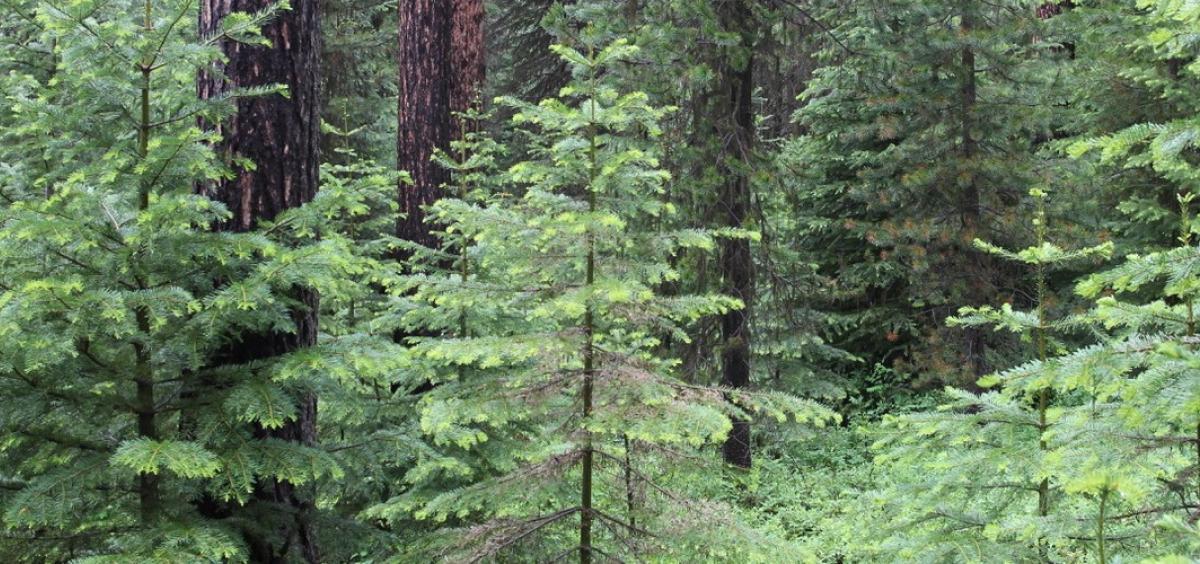 grand fir infill