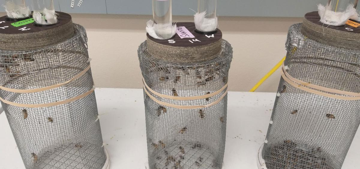 One cage from each of the three experimental groups in an Oregon State University honeybee study. The control cage on the far left has more live bees than the cages in which the bees were exposed to Sivanto (middle) and Transform (far right).
