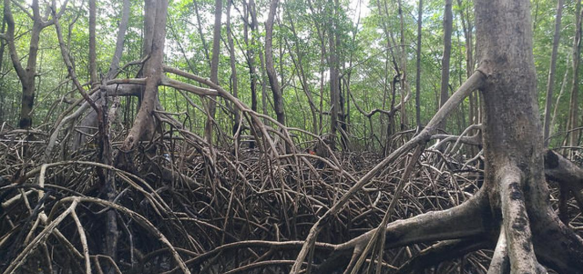 The Brazilian mangrove forest fringes the entirety of the Atlantic Coast at the mouth of the Amazon River