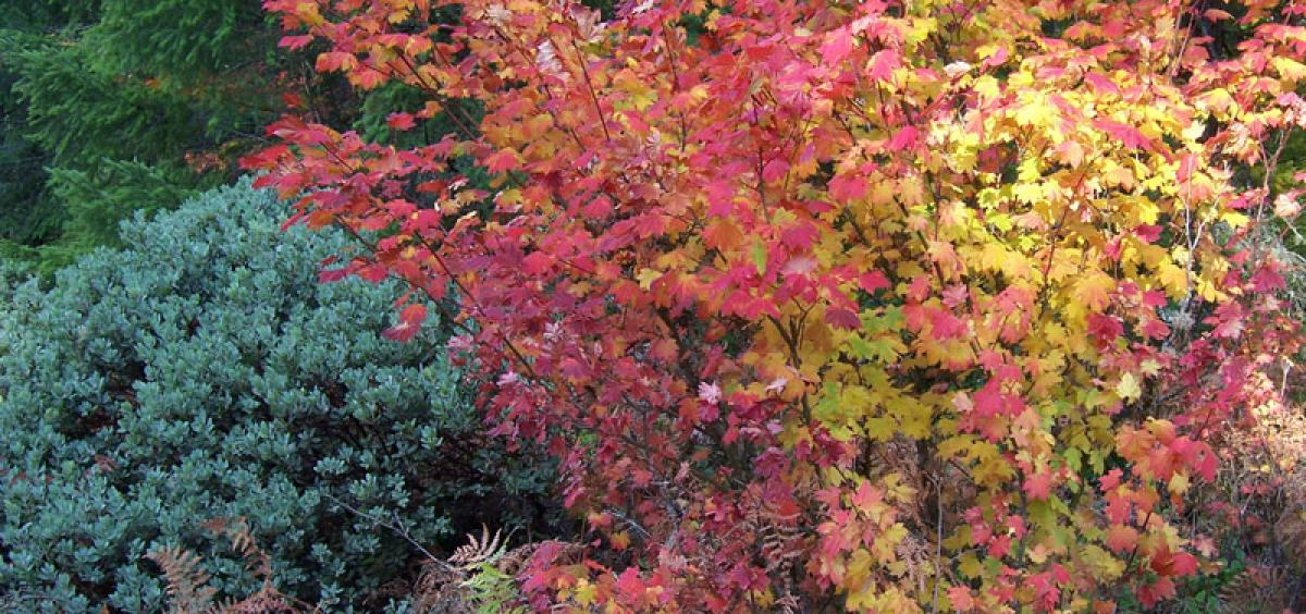 Oregon native vine maples have beautiful fall color.
