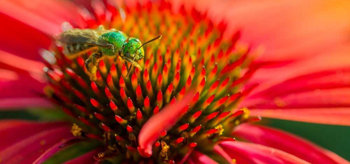 Metallic bee on coneflower