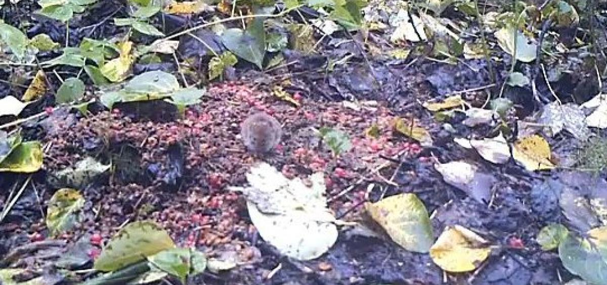 A northern red-backed vole forages for berries in bear scat in southeastern Alaska