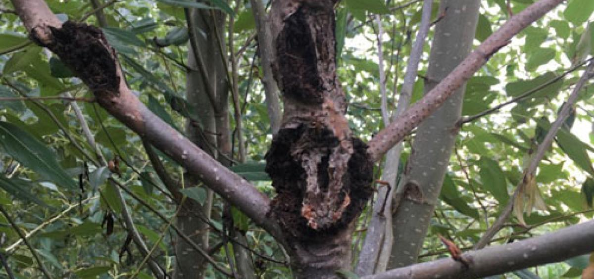 Black cottonwood poplar trees are vulnerable to a pathogen known as Septoria that causes cankers to grow on the stem and branches