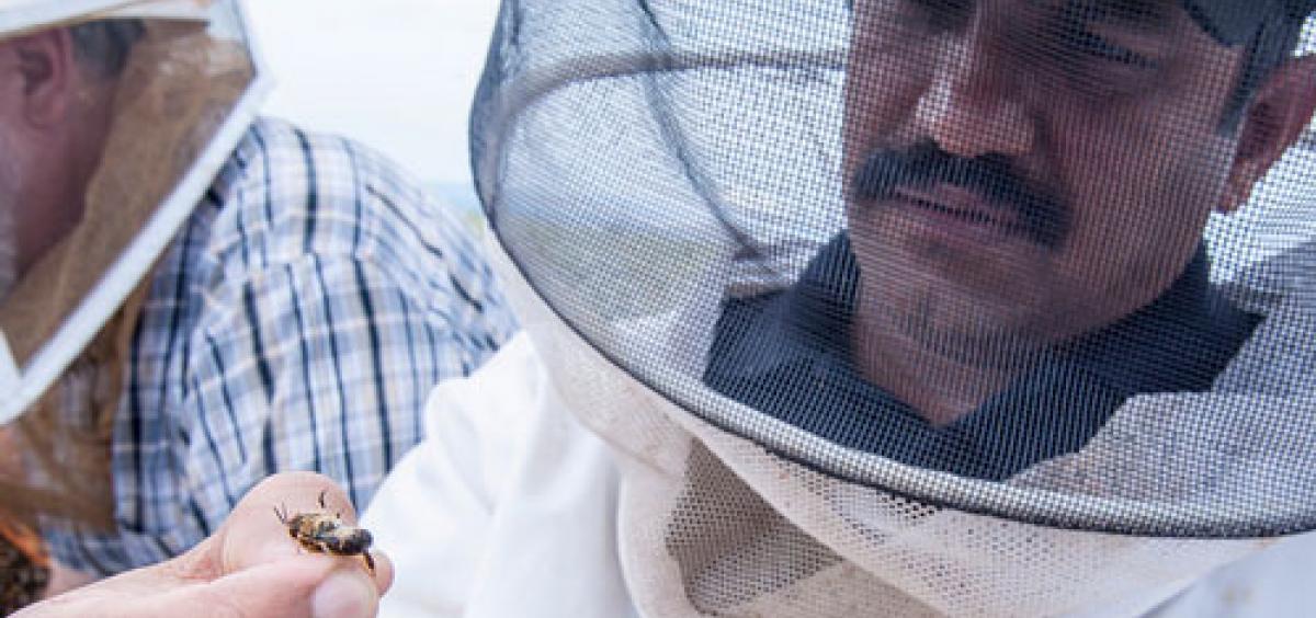 Oregon State University researcher Ramesh Sagili inspects a European honeybee in a carrot seed field near Madras, Ore.