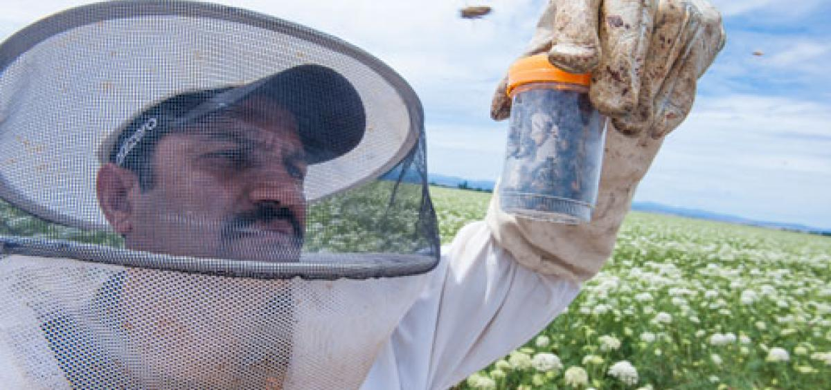 Ramesh Sagili, Oregon State University associate professor of apiculture and Extension specialist, examines honeybees in Madras, Oregon.