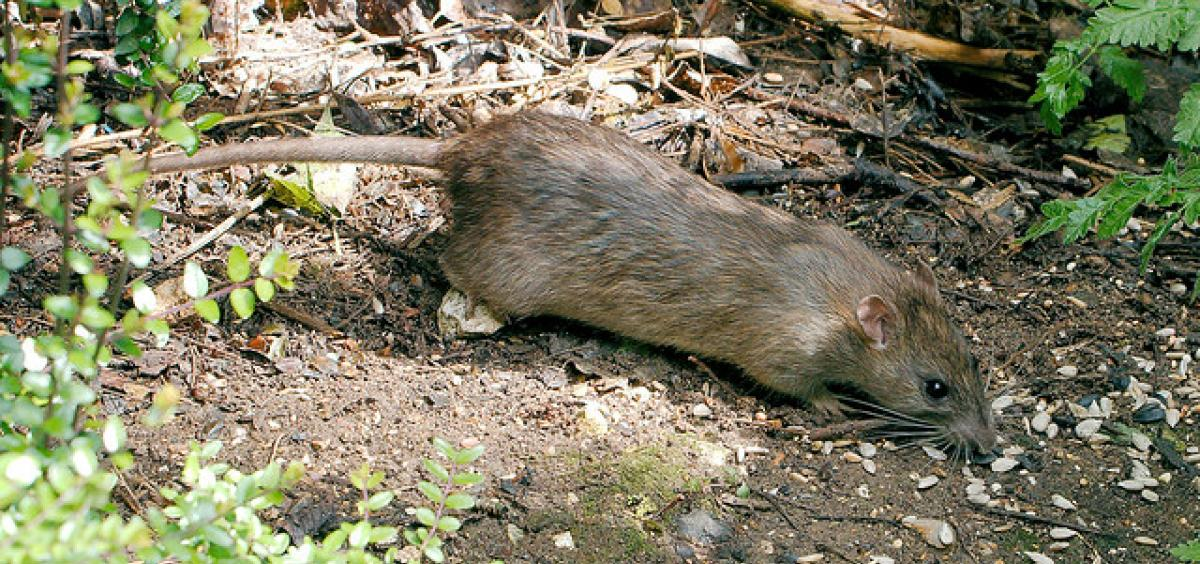 Tips for keeping rats out of home and garden | Oregon ...
