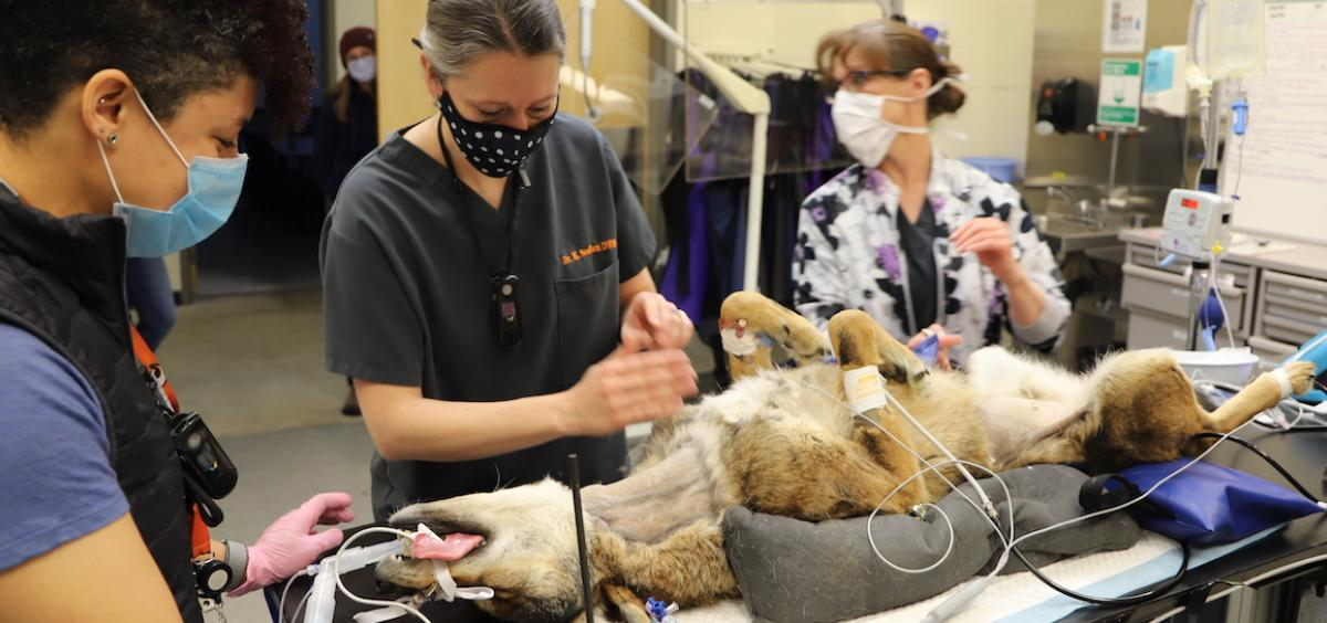 Image of red wolf Chester face-up on operating table with medical team around