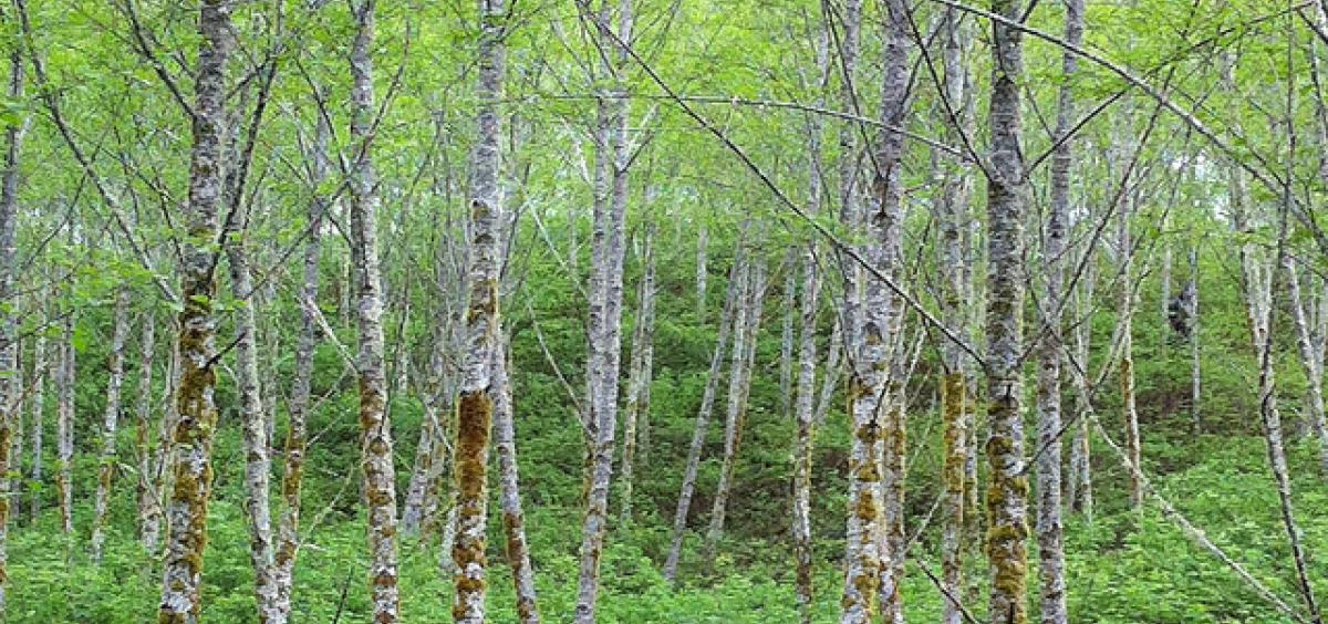 A stand of red alder trees in the Oregon Coast Range