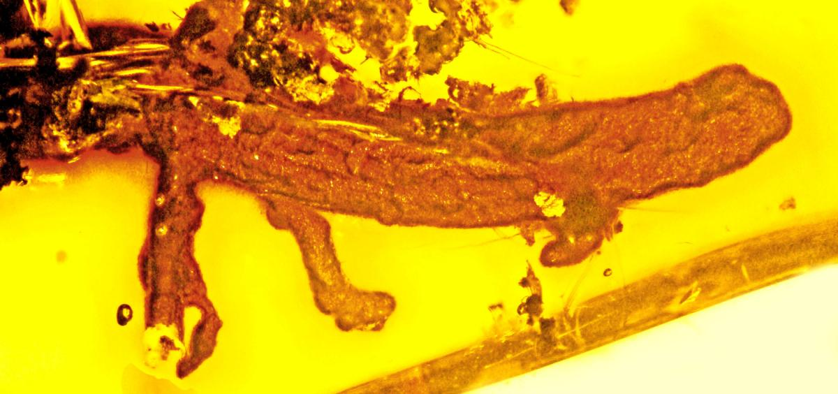 First-ever discovery of a salamander in amber sheds light on evolution of  Caribbean islands | Oregon State University
