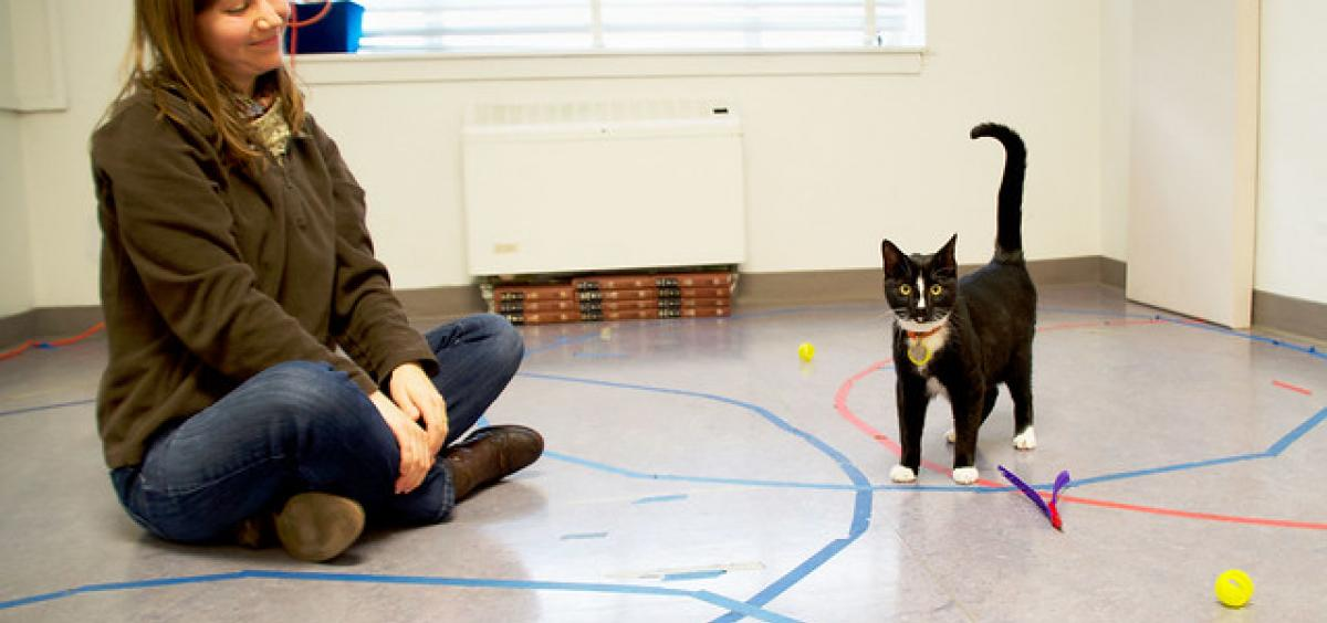 A cat displays secure attachment behavior with researcher Kristyn Vitale in the Human-Animal Interaction Lab at Oregon State University