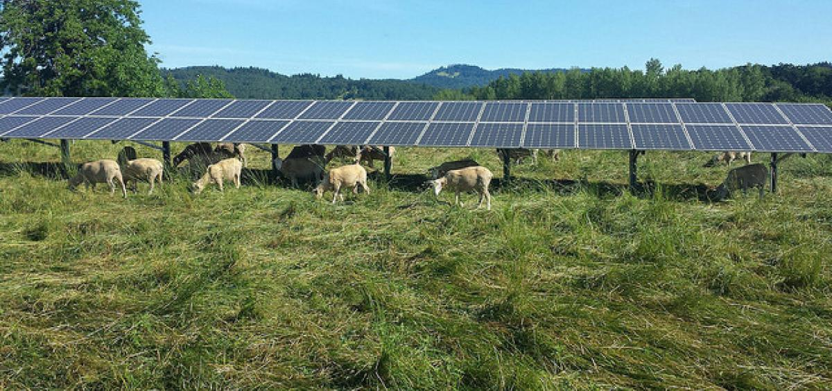 sheep grazing under array