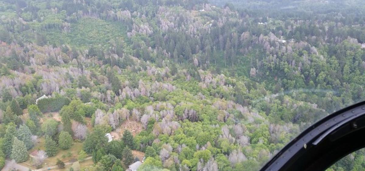 Recent and long dead tanoak trees are seen from the air outside of Brookings, Oregon.