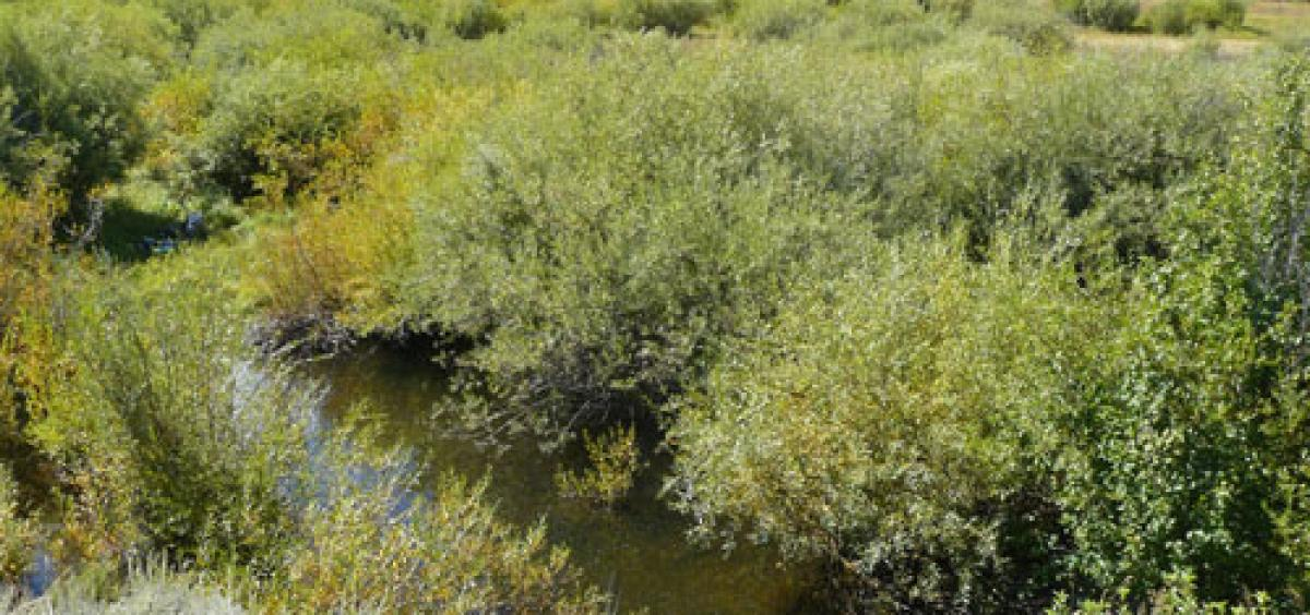 Tall willow thickets on West Blacktail Creek demonstrate the remarkable change that has occurred in some places in northern Yellowstone National Park