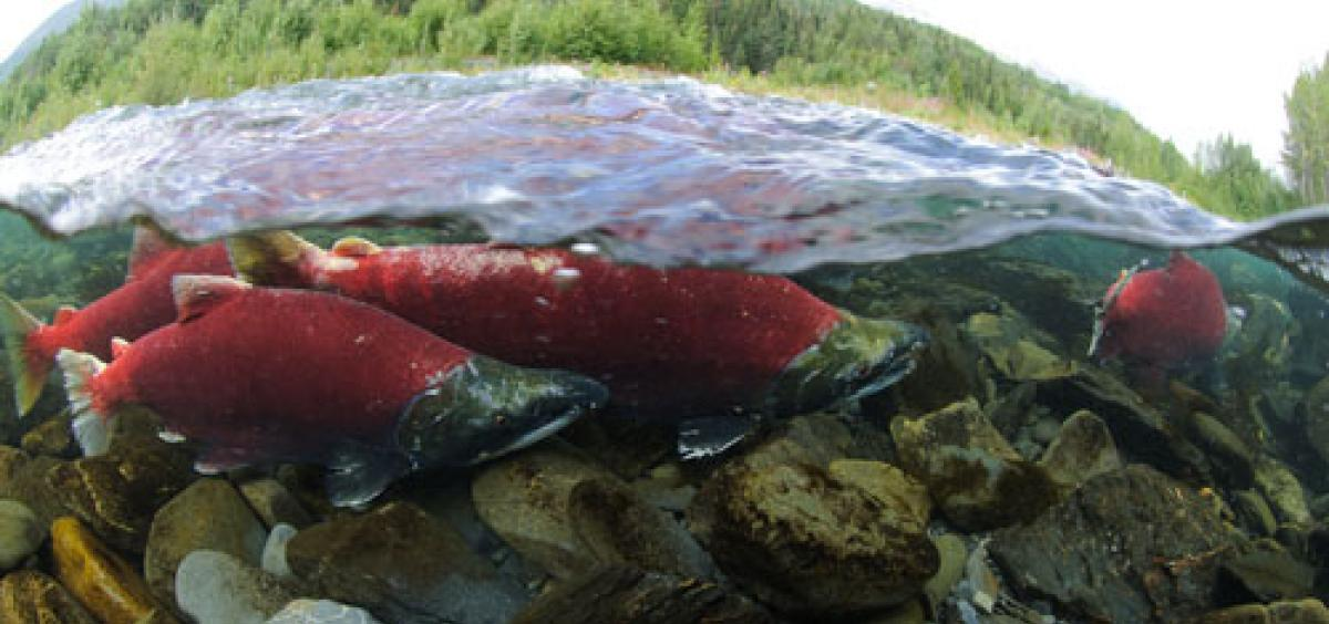 Sockeye salmon running up the Kenai River to spawn