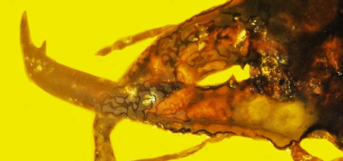 mammoth weevil mandibles