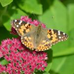 Painted lady butterflies need host and nectar plants