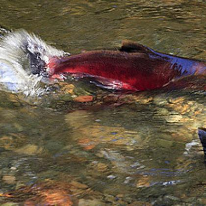 Image of coho salmon spawning in an Oregon stream