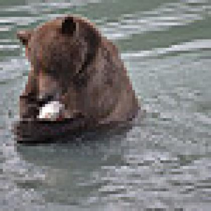 image of bear with salmon