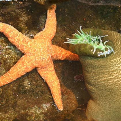 Image of orange starfish and green sea anemone