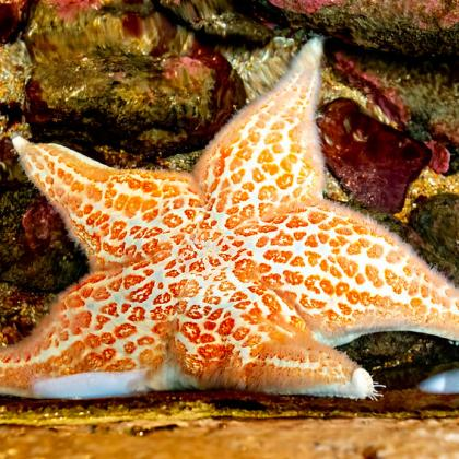 image of an orange colored sea star in a tidepool
