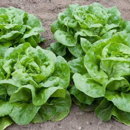 Lettuce growing in the ground. Photo from Flickr by Dwight Sipler.f
