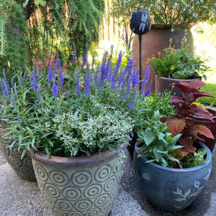 Container plants need plenty of water during heat waves.