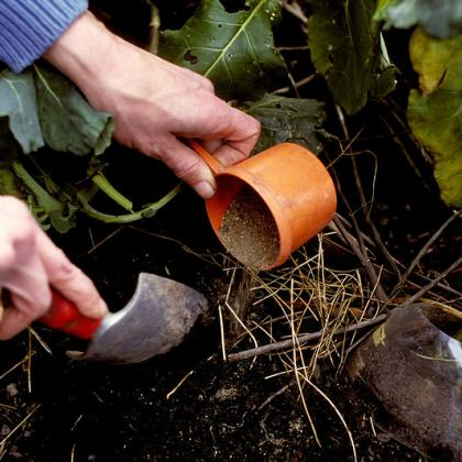Fertilizing the vegetable garden.