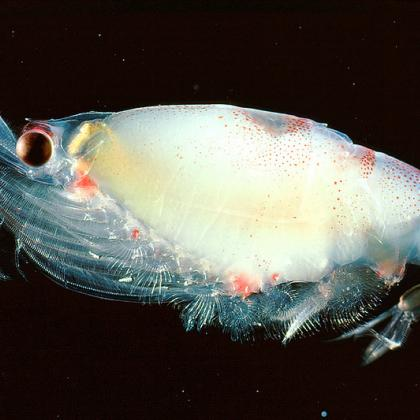 Image of a single gravid krill on a black background
