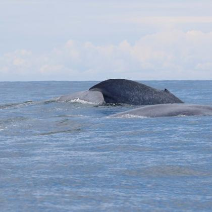 Image of a pair of New Zealand blue whales in the ocean